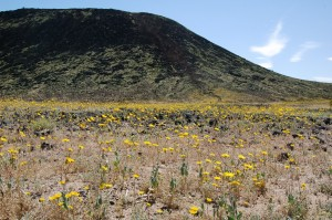 Wildflowers on the trail to Amboy Crater.