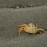 Crab on Bishop Beach on Kachemak Bay in Homer, Alaska