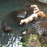 Dogs play in the pools below the waterfalls near Papageno Resort on Kadavu Island, Fiji.