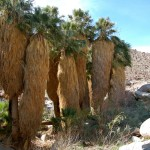 Palm oasis on the Borrego Palm Canyon Trail.