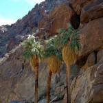 Palms at the oasis on the Borrego Palm Canyon Trail.