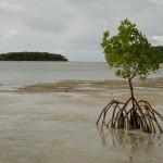 A mangrove tree on the path from Papageno Resort to Naivakarauniniu.