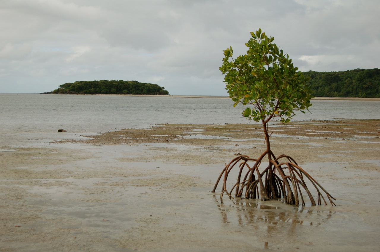 A mangrove tree on the path from Papageno Resort to Naivakarauniniu.