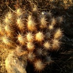 Cactus on the Yaqui Well Trail.