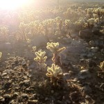 Cholla cacti on the Yaqui Well Trail.