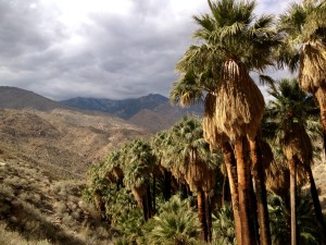 View of the palm oasis on the Palm Canyon Trail near Palm Springs.