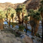 Oasis on the Palm Canyon Trail in Palm Springs