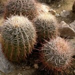 Barrel cactus on the Cahuilla Canyon trail near Palm Springs.