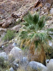 Palm tree at the west end of the Cahuilla Canyon trail.