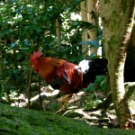 Chicken at Uluwehi Falls