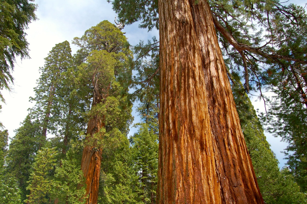 A large sequoia on the Trail of 100 Giants.