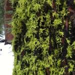Mossy tree