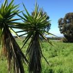 Yucca plants at More Mesa