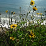 Wildflowers and the Pacific Ocean at More Mesa