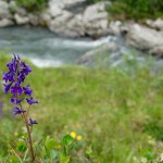 Lupine along the Savage River Loop Trail in Denali National Park, Alaska