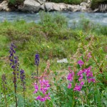 Lupines and fireweed along the Savage River Loop Trail in Denali National Park, Alaska