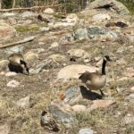 Canadian Geese on the Sprague Lake Trail